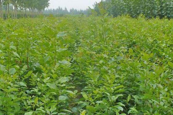 農大園林花卉基地-白蠟