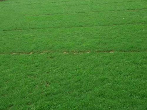 鸿景园林早熟禾草坪