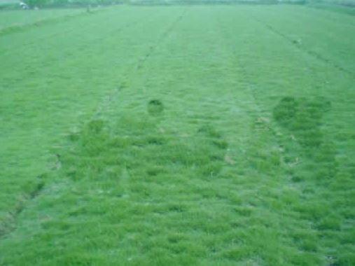 鄢陵草坪-四季青草坪